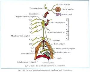 上頚神経節解剖